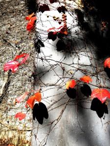 Autumn vine with shadow
