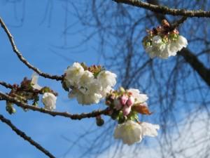Blossoms Ansuha