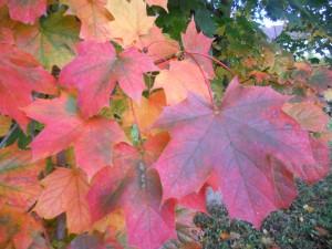 Multi-coloured leaves