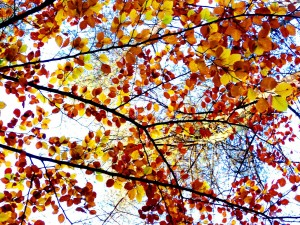 Thru autumn leaves Newborough Forest