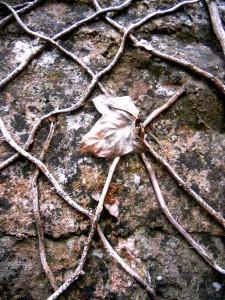 dried leaf on dried vine