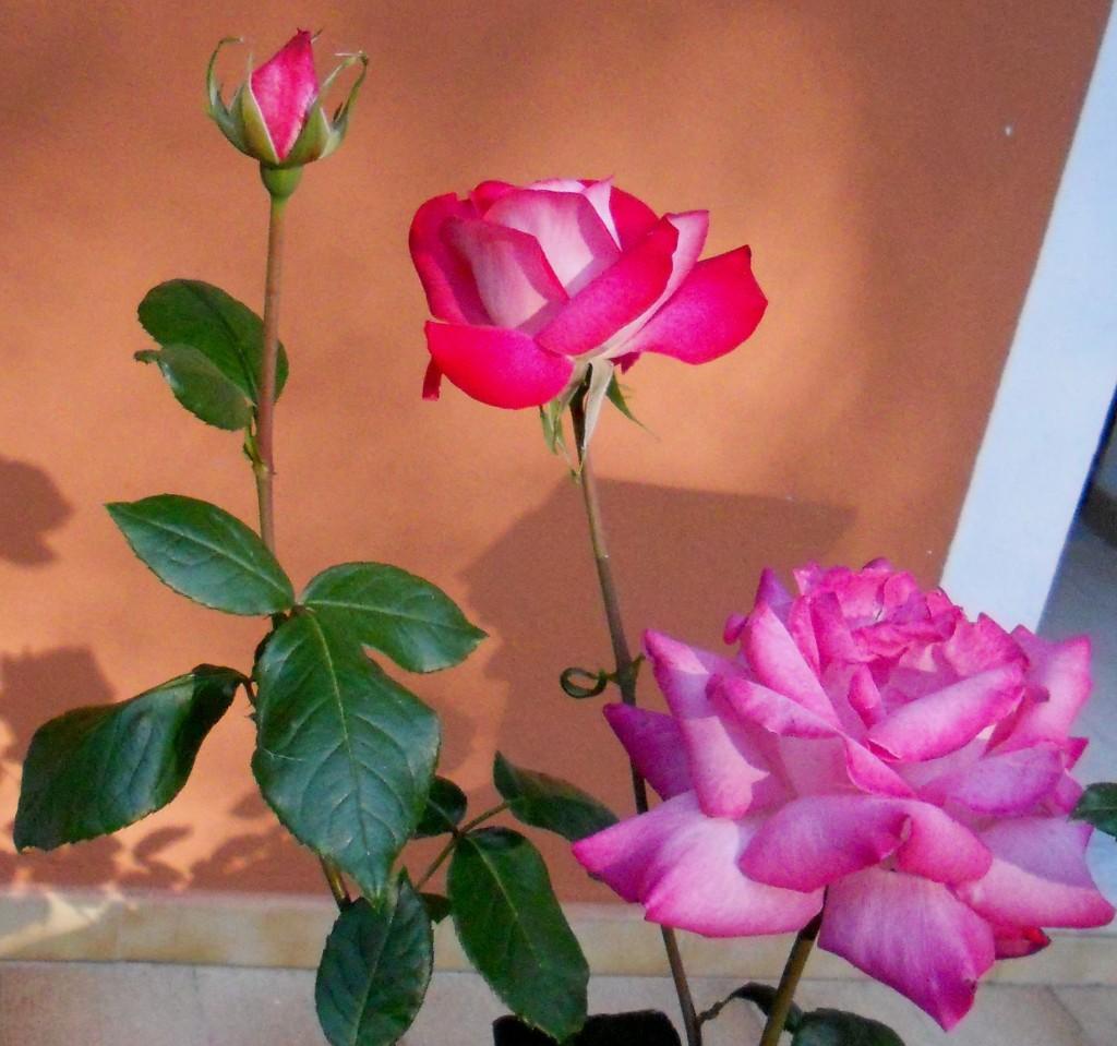 Roses - OSHO Sammasati Vision