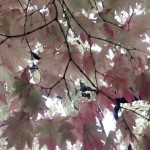 leaves Japan cropped