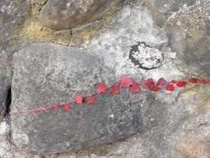 One strand red vine on rock